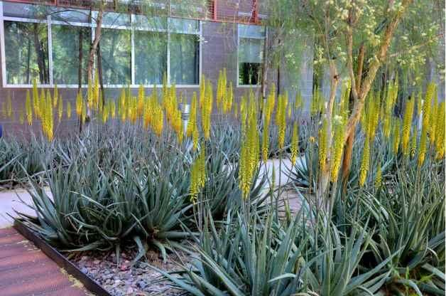A bed of drought tolerant aloe vera.