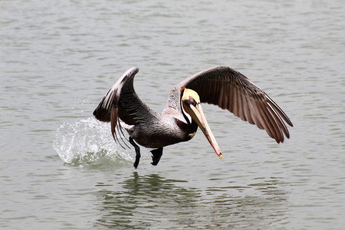 brown pelican, beach birds