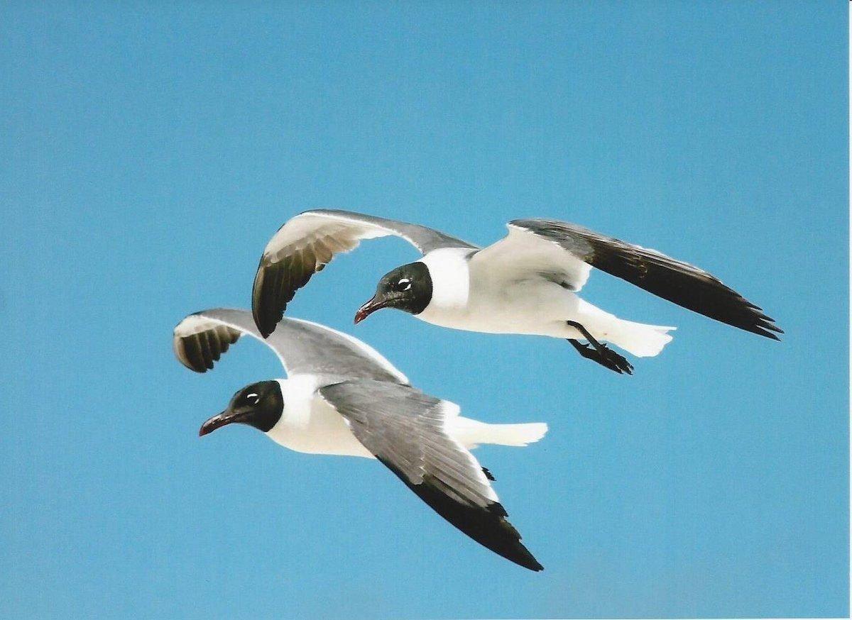 laughing gulls, beach birds
