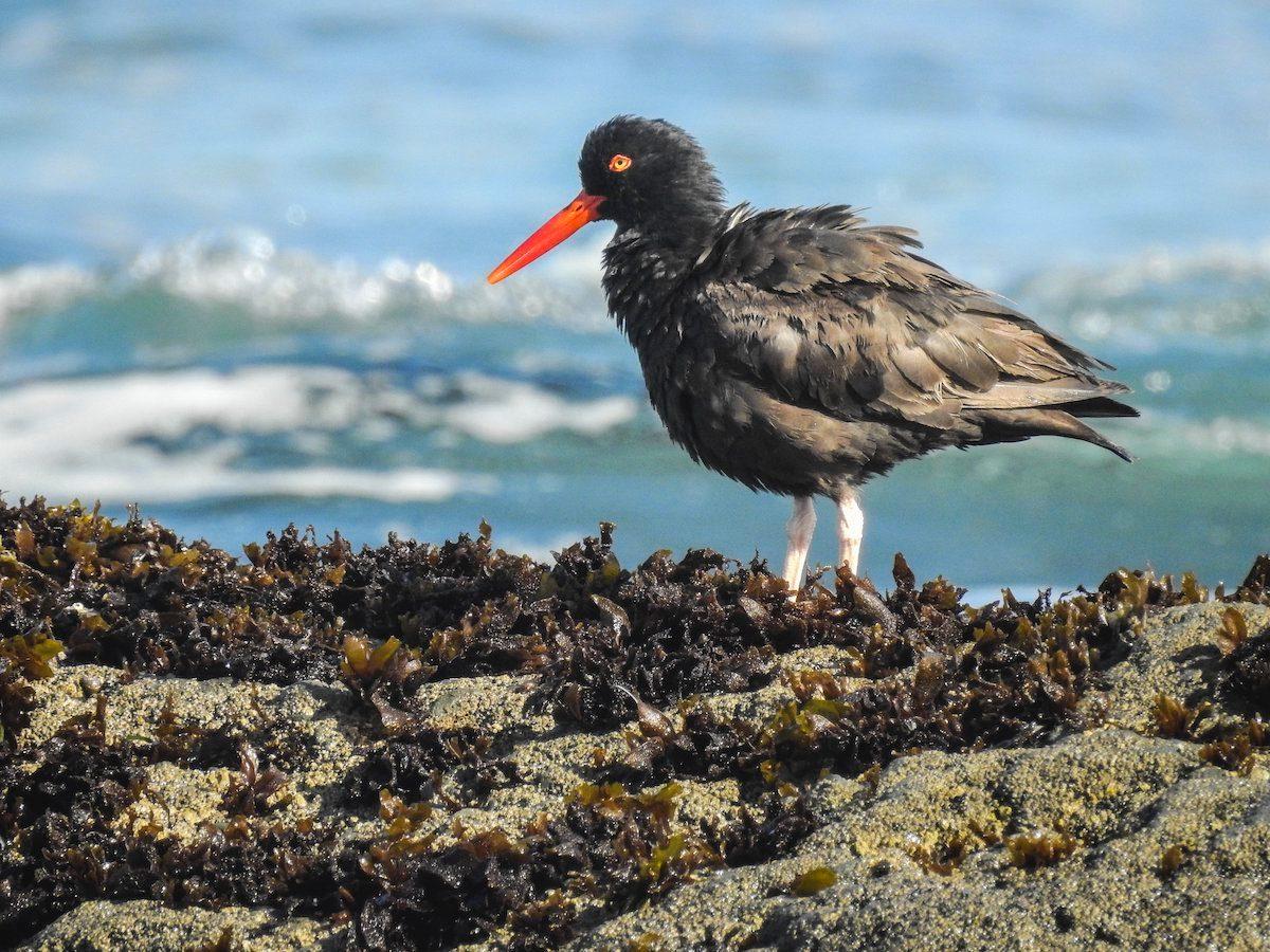 black oystercatcher, beach birds