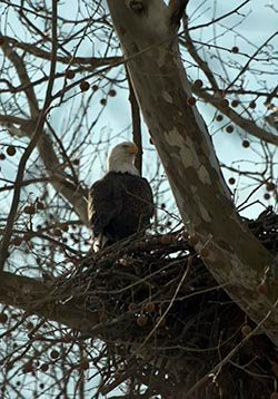 I found this Bald Eagle on a nest in western Indiana several years ago.
