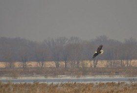 This Bald Eagle was hunting for waterfowl during the winter months at Goose Pond FWA in Indiana.