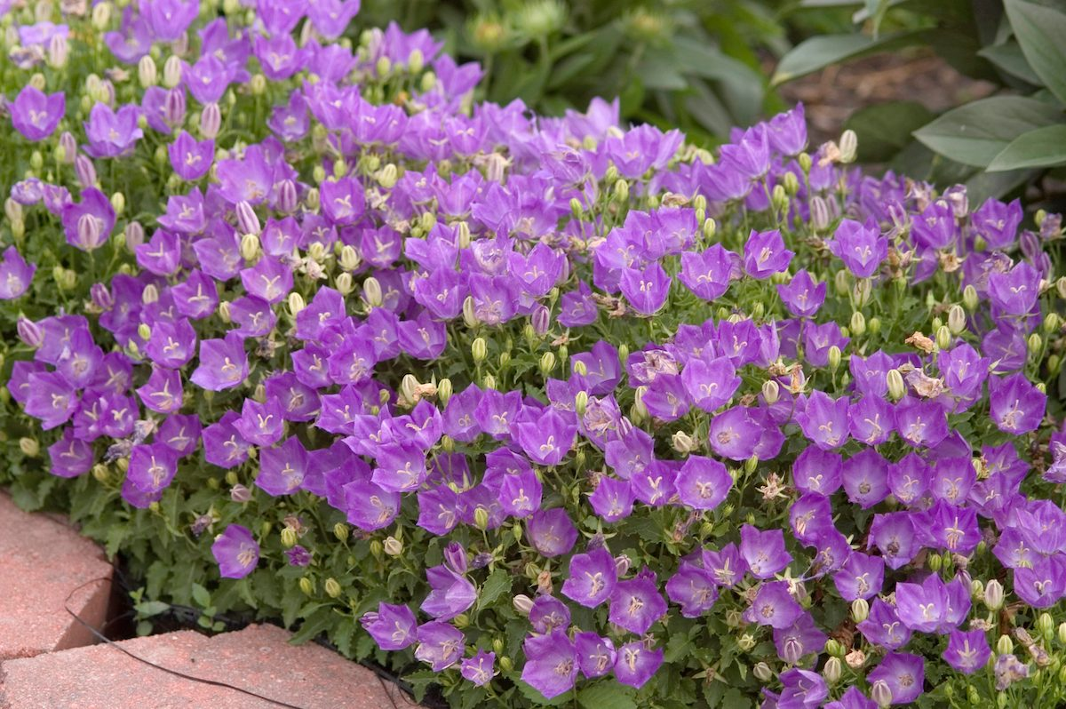 purple flowering ground cover Bellflower