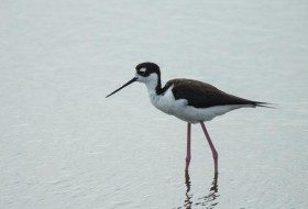 You can see Black-necked Stilts on South Padre Island in Texas all year long!