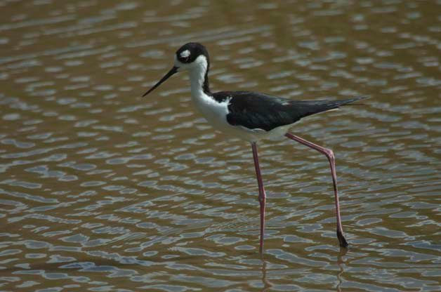 St John was one of my favorite place to watch Black-necked Stilts. This individual was running around right next to a flamingo!