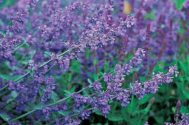 Top 10 Purple Plants For Your Flower Garden Birds And Blooms