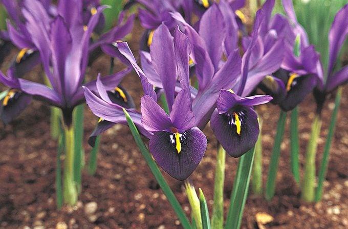 purple flowers dwarf iris