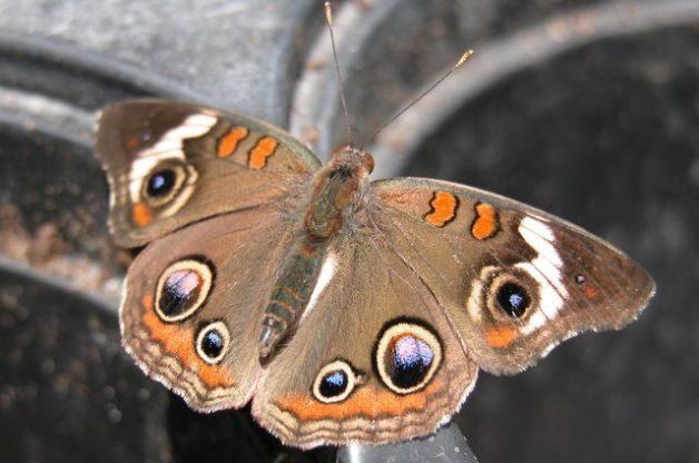 Eyespots in the Butterfly Garden