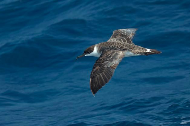 Great Shearwaters have only been found inland after hurricanes a few times. I photographed this one on a trip into the Gulf Stream out of Cape Hatteras, North Carolina.