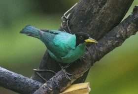 Green Honeycreepers are really beautiful birds! They were very common at the feeders at Nature Pavilion.