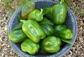 Harvested-green-peppers