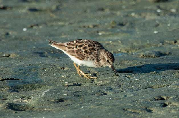 Least Sandpipers are also early migrants. They are part of a group of shorebirds that we call peeps, all of which can be tricky to tell apart from one another.