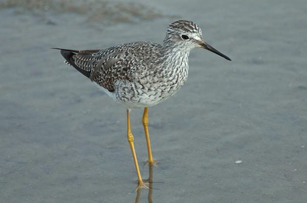 Lesser Yellowlegs are one of the first shorebirds to begin to migrate back south during the summer months.