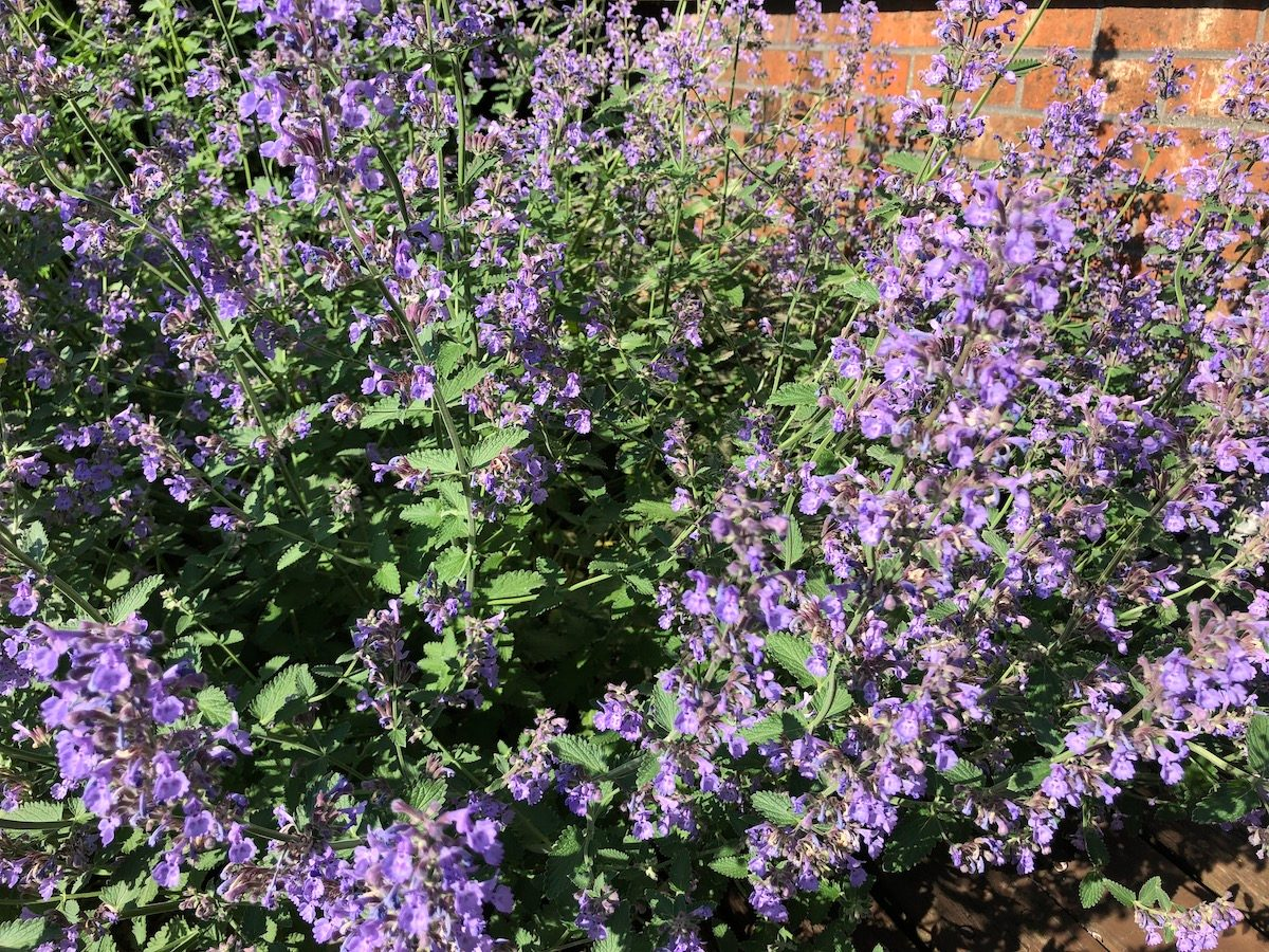 purple flowering catmint