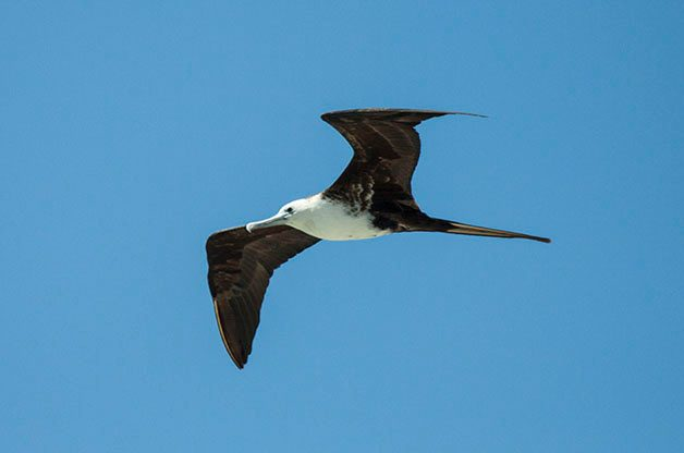 Magnificent Frigatebirds often get pushed inland by hurricanes.