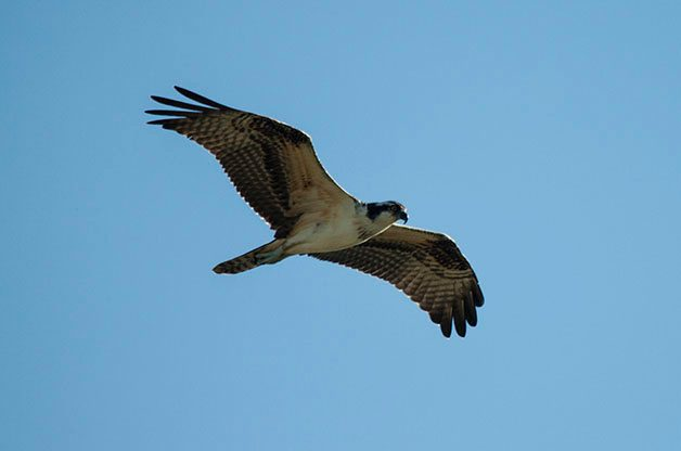 The app had no trouble identifying this Osprey in my photo.