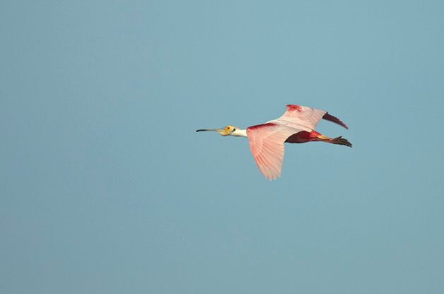 I love watching Roseate Spoonbills in flight!