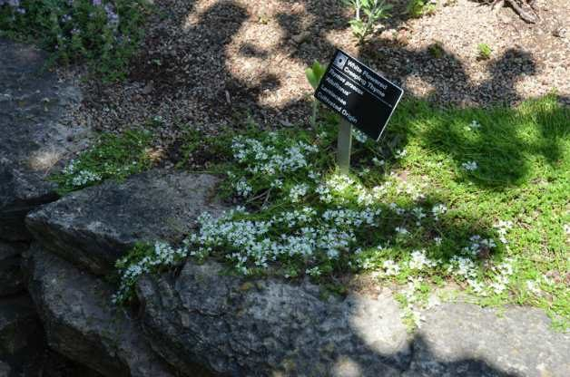 White Flowered Creeping Thyme