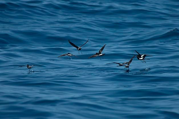 These Wilson's Storm-Petrels are similar to the Leach's that I mention and are also sometime found inland after hurricanes pass through.