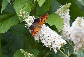 Attracting Butterflies: ID Cheat Sheet