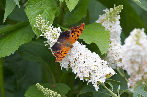 Attracting Butterflies: Look for the question mark butterfly near wooded areas.