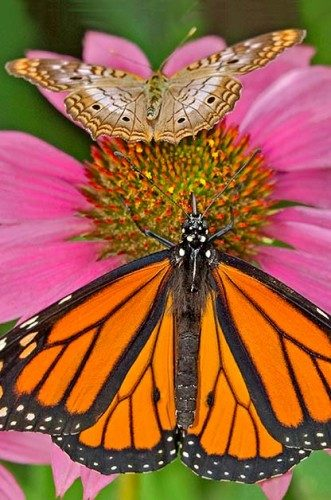 Attracting Butterflies: Male monarchs have a black spot on each hindwing.