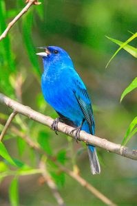 Birding Beginners: Indigo bunting