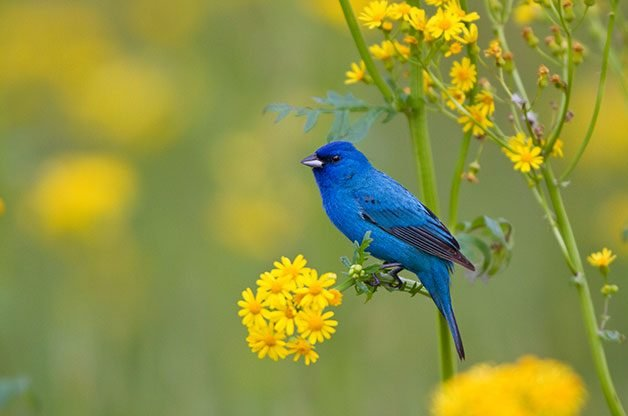 Birding Basics: The indigo bunting is one of the most gorgeous summer birds in the East.