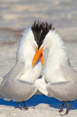 Birding Locations: Royal terns