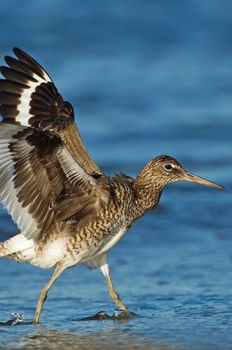 Birding Locations: Willet