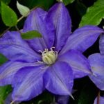 Top 10 Purple Flowers for Your Garden