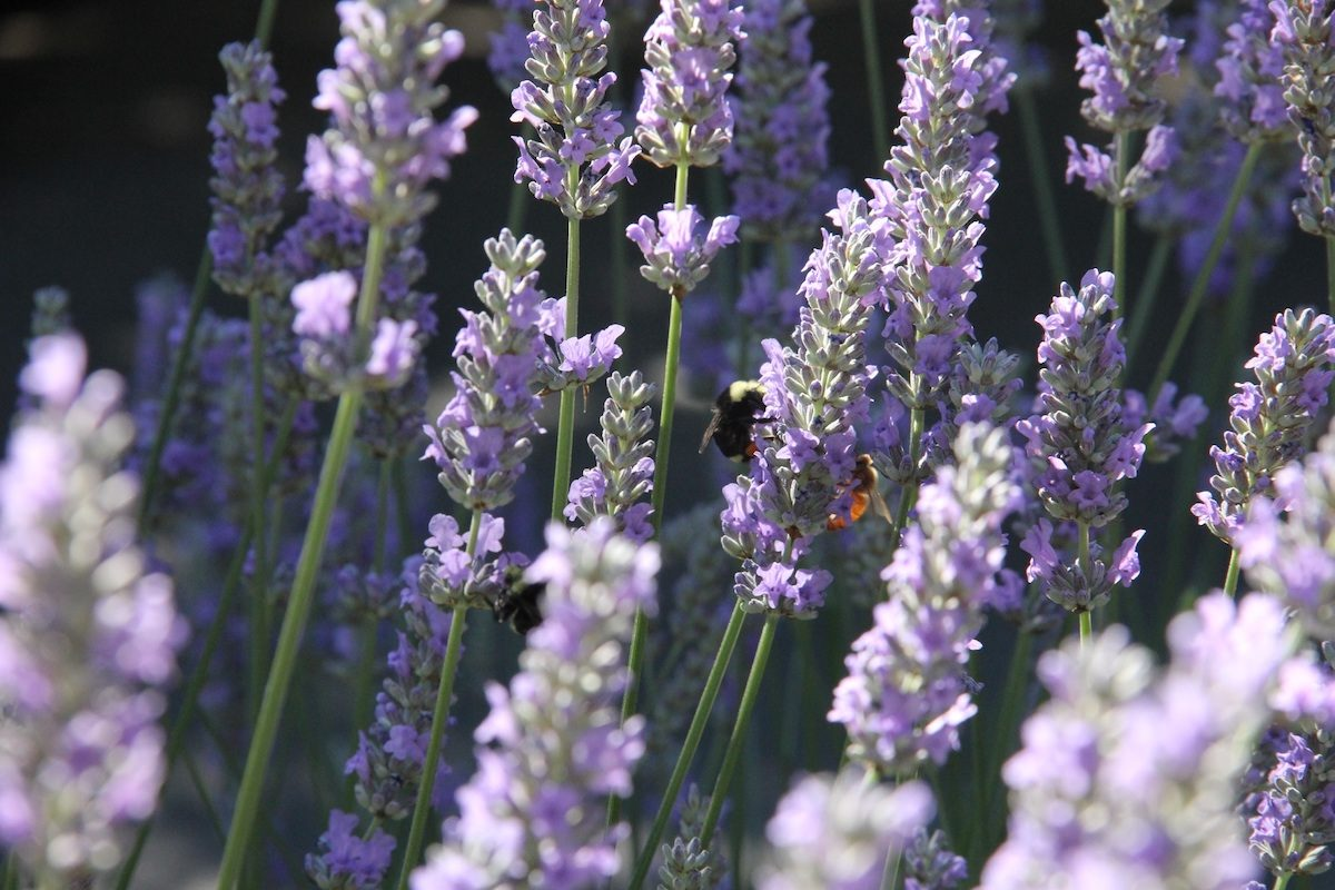 purple flowering plant lavender