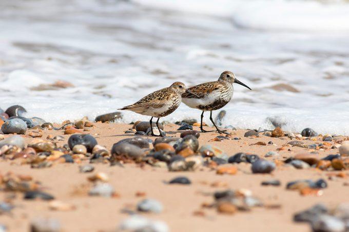 dunlin, beach birds