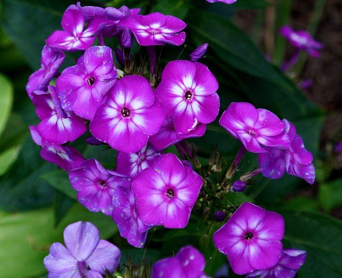 purple flowers on verbena