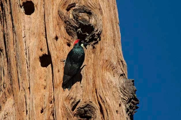 Acorn Woodpeckers will store thousands of acorns and one member of their family group is always on guard to make sure a thief doesn't steal the stash!