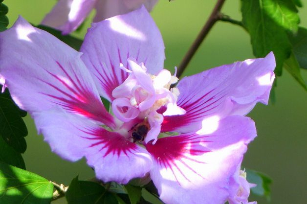 Attract Wildlife with Rose of Sharon