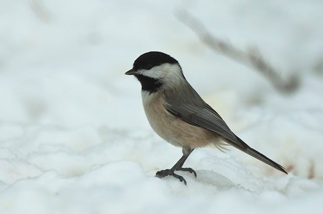 Although chickadees don't show the outward signs of this disease, they were found to be infected by it.