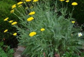 'Moonshine' Yarrow (Achillea Moonshine)