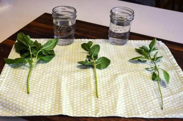 How To Take Herb Cuttings