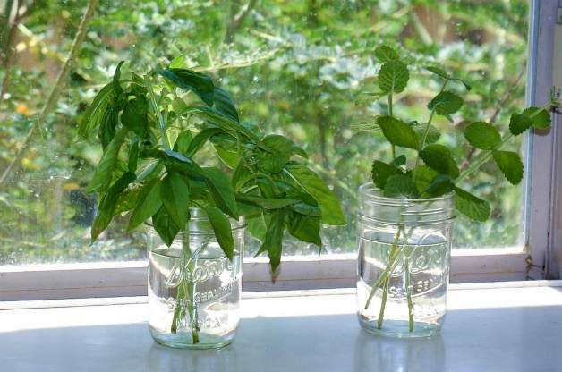 How to root basil-001