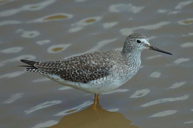 There were several Lesser Yellowlegs mixed in with many more Great Yellowlegs.