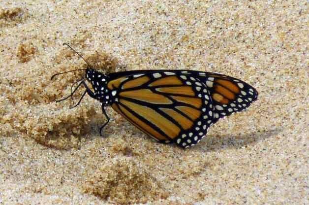 Monarchs 2014
