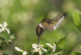 Hummingbirds Have Returned to the Gulf Coast