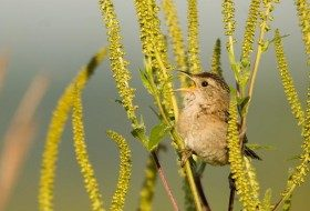 Sedge Wrens are rather drab but they make up for it with their incredible song. Photo by Eric Ripma.