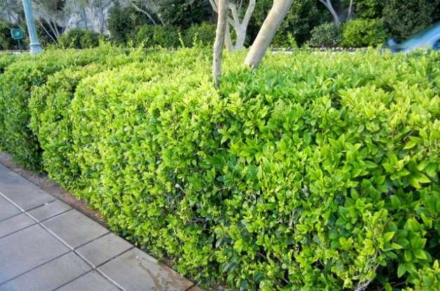 Shrub With Iron Deficiency