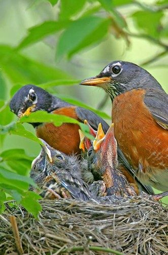 BIRD NESTING 101: Female robins incubate the eggs, but both parents care for the young.