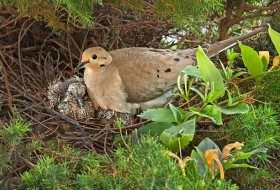 BIRD NESTING 101: Mourning doves extend their nesting season well into early fall.