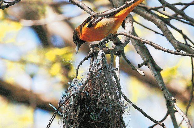 slowest nest builder
