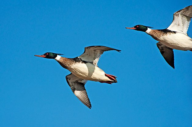 Birding Basics: Fastest Birds in America