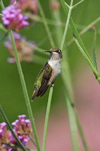 Birding Basics: Fastest birds